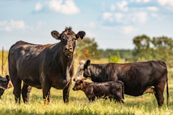 Commercial Angus crossbred cow in focus