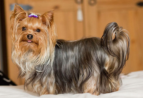 yorkshire-terrier-with-pedigree-3.jpg