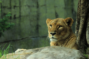 West African Mountain Lion