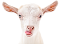 goat%2520adobe_edited_edited.png
