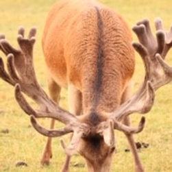 red deer farming J21 aged 5.jpg