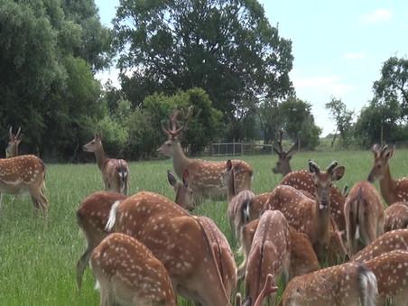 Sika Deer Video
