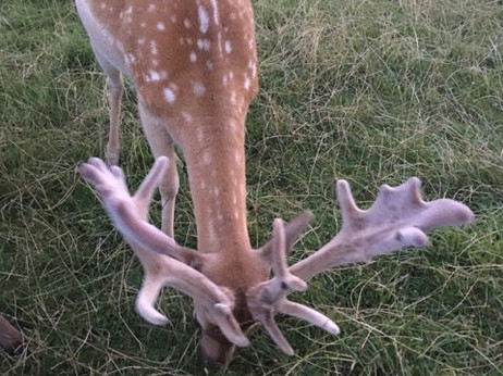 Fallow buck for sale (2yrs)