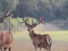Stag for sale