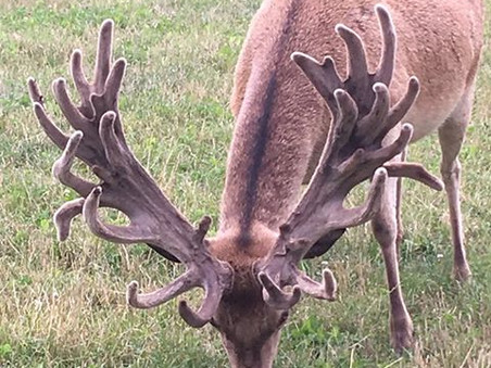 Stag for sale (3yrs)