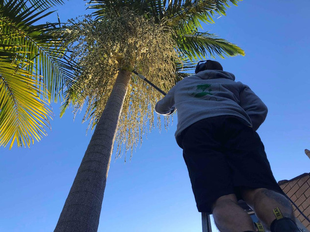 Trimming Palms