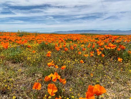 Antelope Valley California Poppy Fields