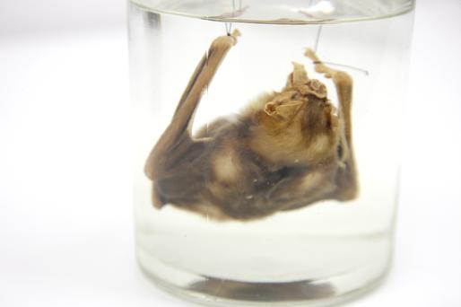 Morcego Hematófago