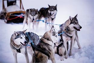 huskies laponie alma mundi bayard image doc