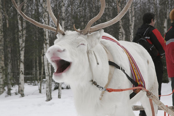 laponie finlandaise famille images doc bayard février luosto alma mundi renne