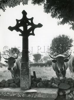 Les vaches et la croix