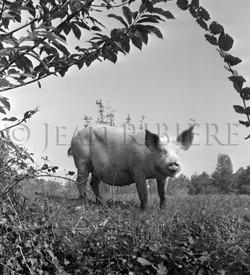 Petit cochon sous les feuillages