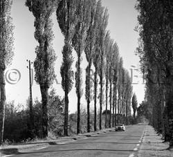 La route longée de peupliers