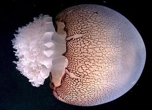 Jellyfish Ocean