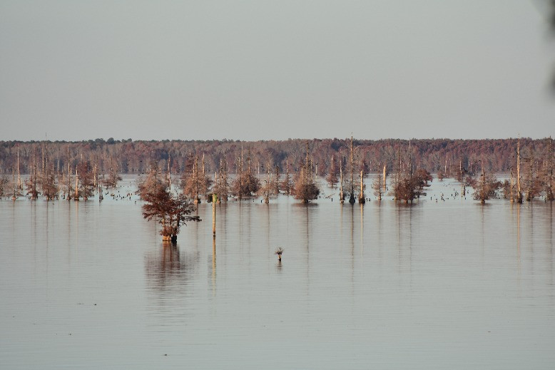 Cypress trees growing in Lake Marion