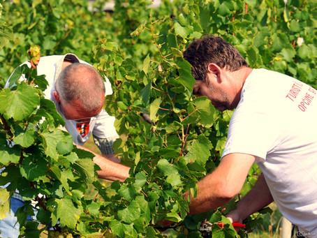 Press berba - udahni, okusi, doživi vinograde Brodskog Stupnika