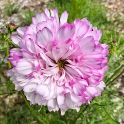 Double Click Cosmos, bicolor rose
