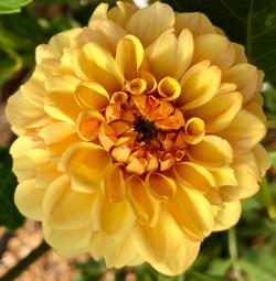 Small yellow dahlia