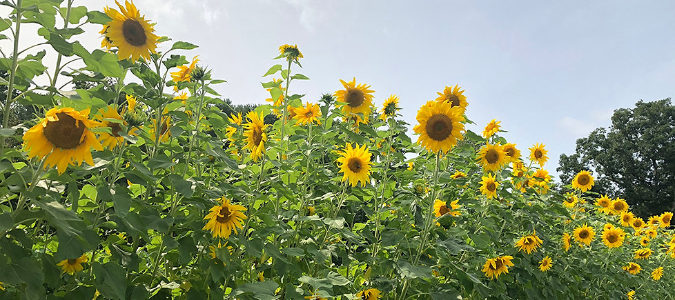 field of sunflowers in full bloom at a farm