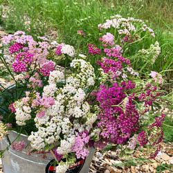 Yarrow in shades of pink