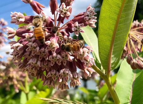 Milkweed (Plants for Pollinators Part 1)