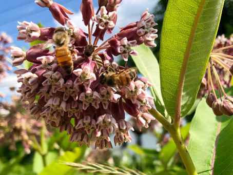 Milkweed (Plants for Pollinators Part 1)