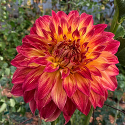 Big red and yellow dahlia