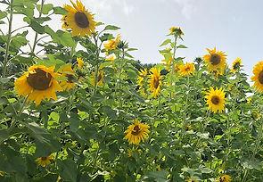sunflower website banner_edited.jpg
