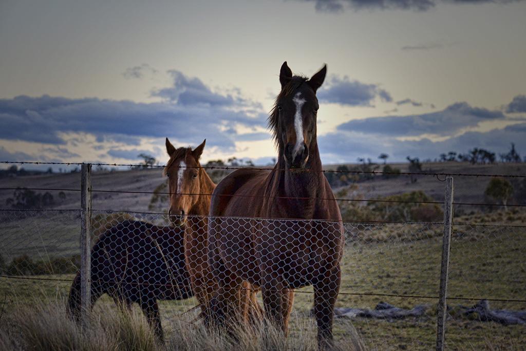 Horses on Dusk