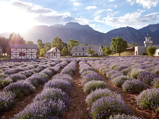 Young Living Lavender Photo.jpg
