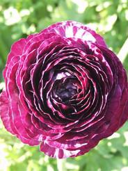 Tecolote Purple