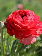 Tecolote Rose