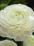 Tecolote White