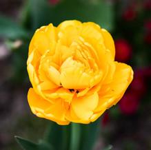 Monte Tulip