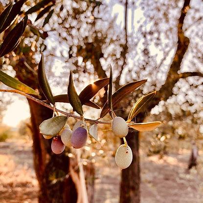olive in invaiatura