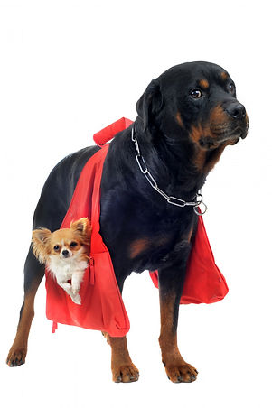 rottweiler-holding-chihuahua_87557-13156