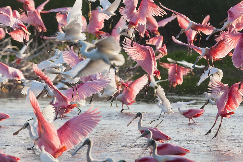 Spoonbills flying.jpg