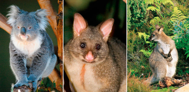 Australian Native Animals