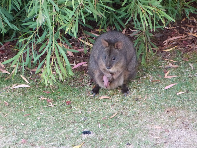 Wallaby feeling safe in the garden with her baby.