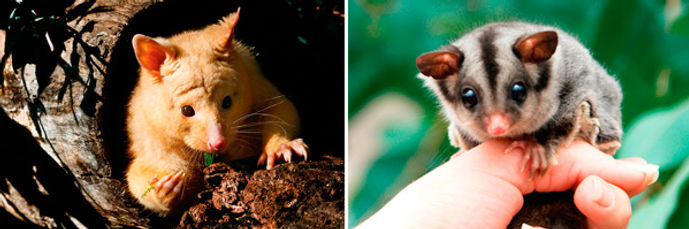 Possums and Gliders