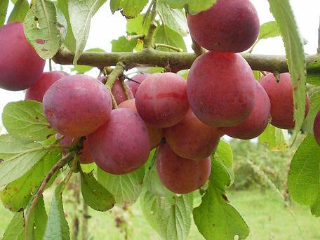 Fruit_10.jpg