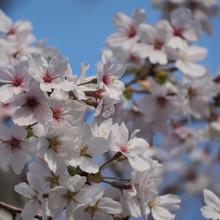 境内の桜写真集