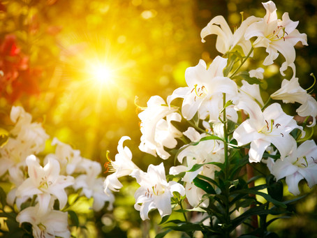 Easter Day Lillies