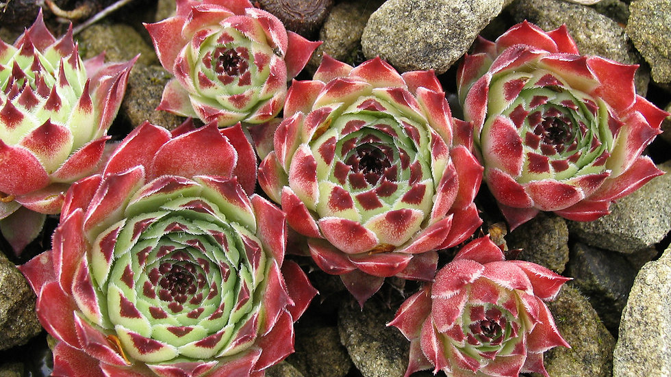 Alpines and Perennials