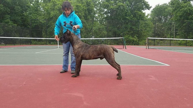 Ivy League Axel 10 months, Crembo x Kiera Gerassi Corso. Bred by Sharon Sintra, Owned and Loved By R
