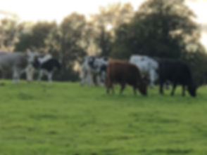 Cows in Field.jpg