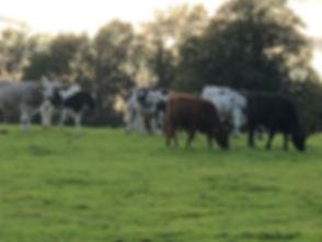 Cows in Field.jpg