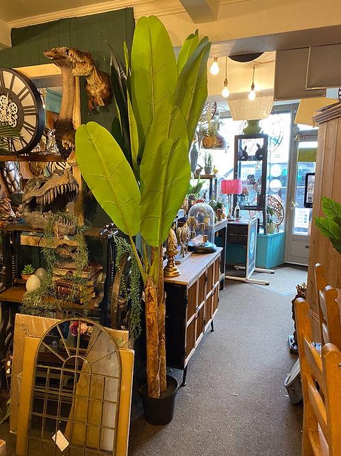 Banana plant (giant) 7ft