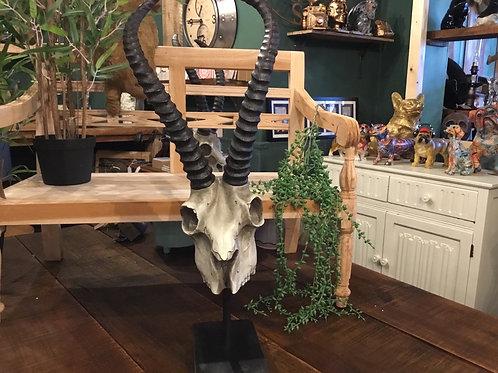 Antelope skull (best seller) 24 in