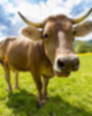 cow-759018_1920.jpg